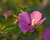 Rose of Sharon.  Shot using Sony 1.4x teleconverter and Sony G70400 at 400mm/5.6 from about 25 feet away.  No traditional sharpening was done in post-processing, only the min. default done when converting the raw file in Adobe Camera Raw.