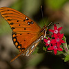 Gulf Fritillary shot with ILCE_A7RM2 camera body and Sony SAL70400G2 lens.  Shot ISO64.
