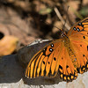 Gulf Fritillary shot with ILCE_A7RM2 camera body and Sony SAL70400G2 lens.  Shot ISO200.