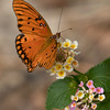 Gulf Fritillary butterfly.  Shot with Sony ILCE_A7R II body and Sony SAL70400G2_SSM lens at 400 effective focal length.