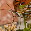 Crop of Gulf Fritillary shot with ILCE_A7RM2 and Sony SAL70400G2 'A' mount lens.