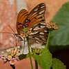 Gulf Fritillary shot with ILCE_A7RM2 and Sony SAL70400G2 'A' mount lens.