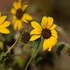 Sunflowers shot in my backyard.  Sony 1.4X T/C trial with Sony ILCE_A7R II body and Sony SAL70400G2