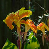 Canna Lilies shot at ISO12,800.  Test for blind tomorrow.  Monday I shot Auto-ISO from 200 to 6400 with a shutterspeed of 1/500 sec.  Tomorrow I plan to set the Auto ISO to 400-12,800.