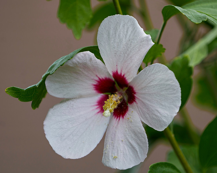 Rose of Sharon.  Shot about 10 to 11 feet away at eff. FL of 400mm, F5.6.  Very narrow depth-of-field.