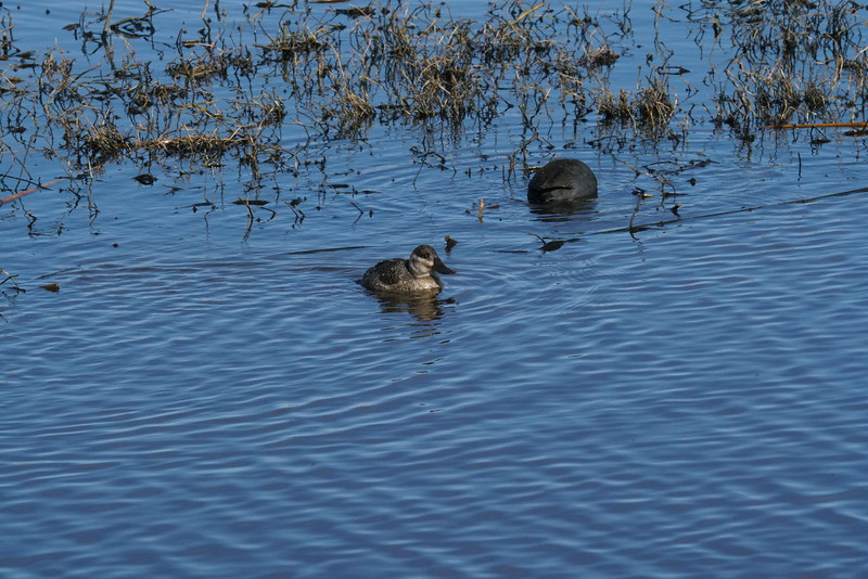 Full frame JPEG image shot from a rental Sony A99 II camera of a Ruddy Duck at Cattail Marsh.