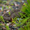 Northern Water Snake in Bruce Peninsula National Park