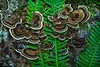 Turkey tail mushrooms overtaking sword ferns in the Sunshine Coast forest in British Columbia.<br /> Photo © Carl Clark