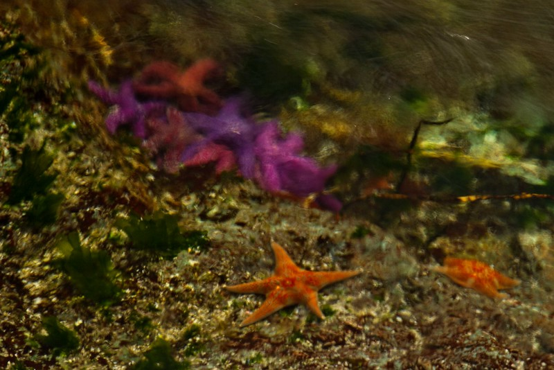 A leather star goes it alone, away from the mass of purple stars in Skookumchuck Narrows on the Sunshine Coast in British Columbia.<br /> Photo © Carl Clark