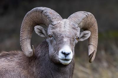 #1329 Bighorn Sheep
