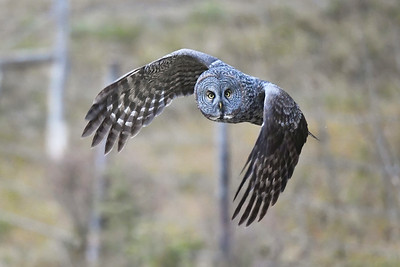 #1323 Great Gray Owl