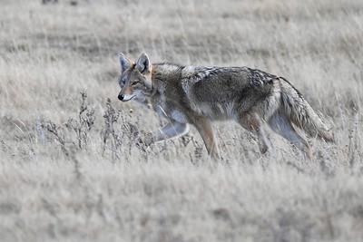 #1317 Coyote