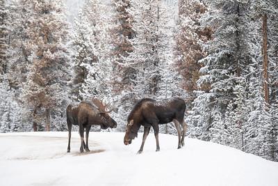 #1331 Moose