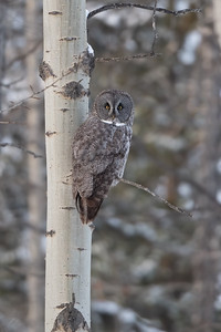 #1356 Great Gray Owl