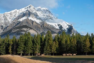 #1351 Elk Herd