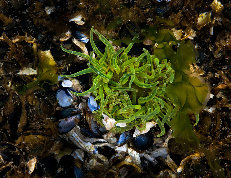 A vivid anenome shyly waves from the waters of Skookumchuk Narrows, B.C.<br /> Photo © Cindy Clark