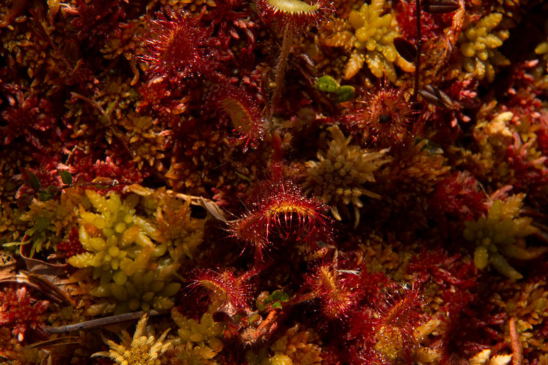 Carnivorus tiny sun dew plants have found a way to adapt to the nutrient-poor sphagnum moss in Shoreline Bog, Vancouver Island, B.C.<br /> Photo © Cindy Clark