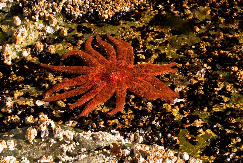 A Sunflower Sea Star basks in Skookumchuk Narrows Park on B.C.'s Sunshine Coast.<br /> Photo © Cindy Clark