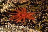 A Sunflower Sea Star basks in Skookumchuk Narrows Park on B.C.'s Sunshine Coast.<br /> Photo © Cindy Clark