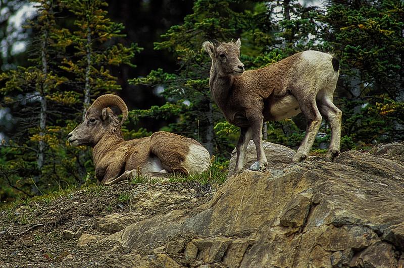 Dad 'n lad. Bighorn sheep in Jasper National Park.<br /> Photo © Carl Clark