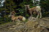 Dad 'n lad. Bighorn sheep in Jasper National Park.<br /> Photo © Carl Clark