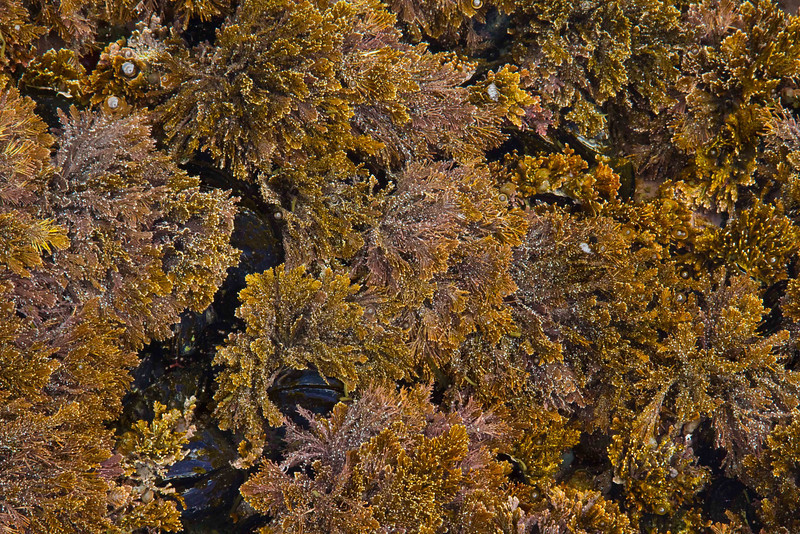 Articulated coralline algae flows lushly in the tidepools of Botanical Beach - Vancouver Island, BC.<br /> Photo © Carl Clark