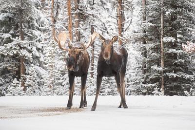 #1341 Moose in Jasper