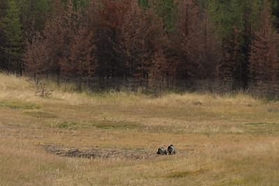 Grizzly bears at a distance  By Judie