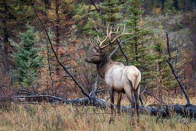 Elk encounter  By Jay