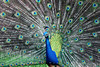 Body Crop of Fully Displayed Peacock - Shot Using Canon EOS 5D Mark II and a Canon EF 100 f/2.8 Macro USM lens --- JohnBrody.com