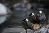 Birds Resting By A Pond - Widescreen Wallpaper Crop --- JohnBrody.com