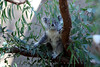One Of Them Fuzzy Aussie Koala Bears Having Lunch - Widescreen Wallpaper Crop --- JohnBrody.com