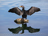 Cormaorant and greenish reflection from underwater plant colors - Cormorant on a Lake - Shot Using Canon EOS 5D Mark II and a Canon EF 70-200 f/2.8 IS L-Series USM lens --- JohnBrody.com