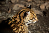 Ocelot - Taken With Canon 5D Mark II and 70-200 2.8 L-Series IS lens --- JohnBrody.com