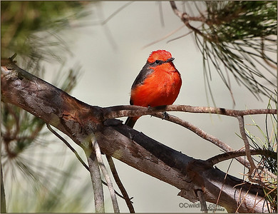 Vermilion Flycatcher, rare in southern california, found more inland and to the east.