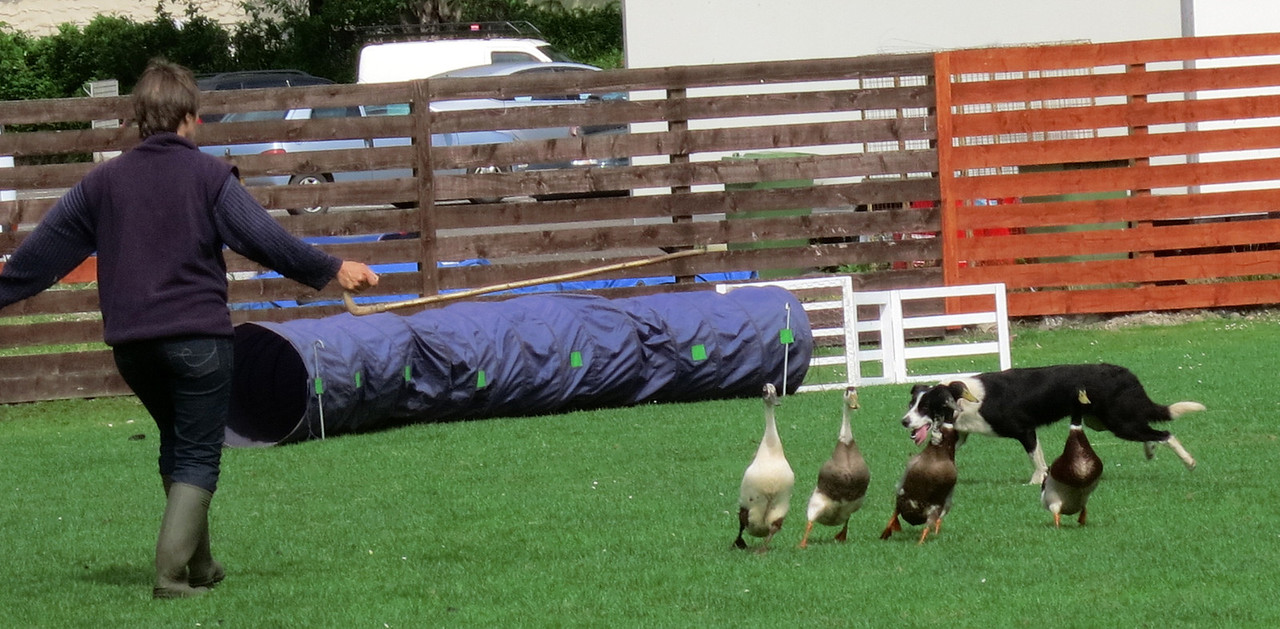 Exhibition of working dog - herding geese through an obstacle course
