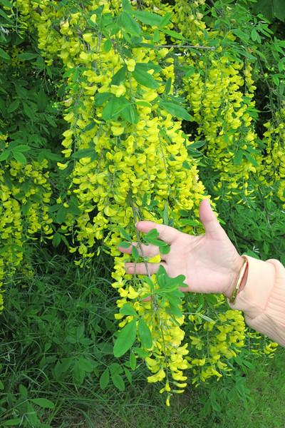 Yellow wisteria tree