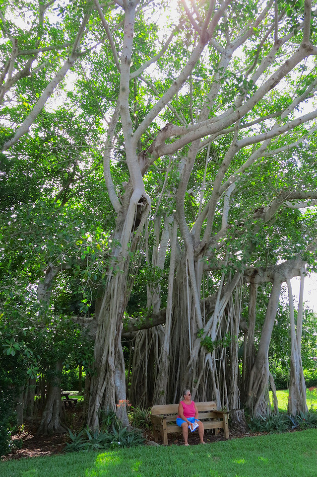 One of the 13 banyan trees on the Ringling estate.