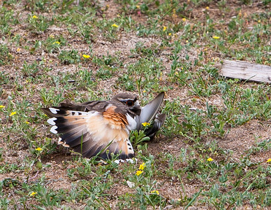 killdeer (20 of 38)
