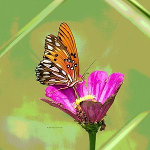 gulf-fritillary-on-zinnia