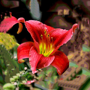 Red-Lily