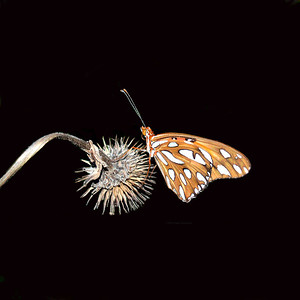 Gulf-Fritillary-On-Black