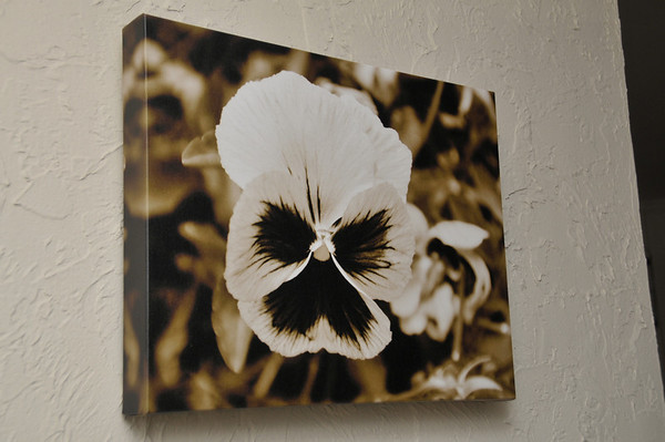 18x14 - Pansy Flower, Sepia Tone.