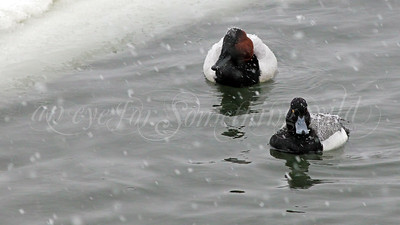 Canvasback and Lesser Scaup