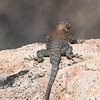 Granite Spiny Lizard (f)