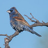 Blue Grosbeak (m) first summer