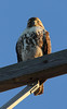 Hawk<br /> Eastham, MA<br /> Image #:4411