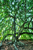 Weeping Beech Tree<br /> Yarmouth Port, MA<br /> Image#:1501