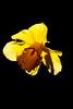 Daffodil<br /> Brewster, MA<br /> Image: 7845