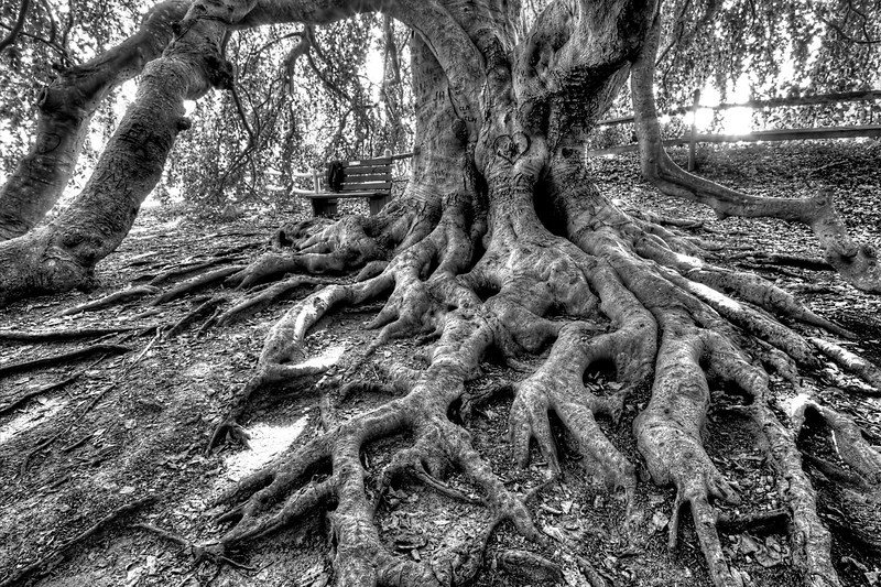 Weeping Beech Tree<br /> Yarmouth Port, MA<br /> Image#:1504